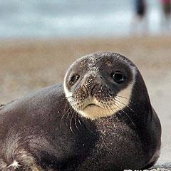 Найдено «недостающее звено» эволюции тюленей